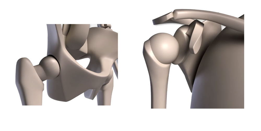 ball and socket joint in thight and shoulder